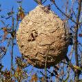 colmena-avispa-asiatica